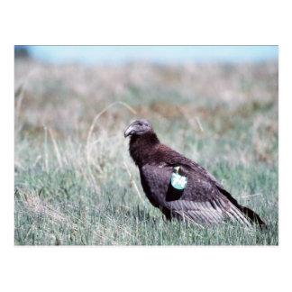 Juvenile Condor Postcards