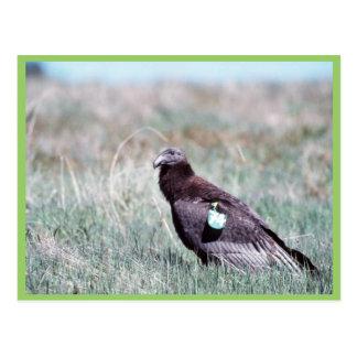 Juvenile Condor Post Cards
