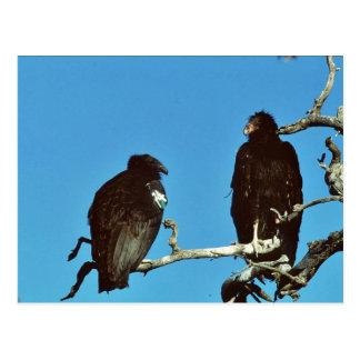 Juvenile Condors Post Card