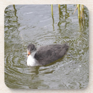 Juvenile Coot Drink Coasters