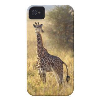 Juvenile Giraffe, Giraffa camelopardalis 2 Blackberry Bold Case