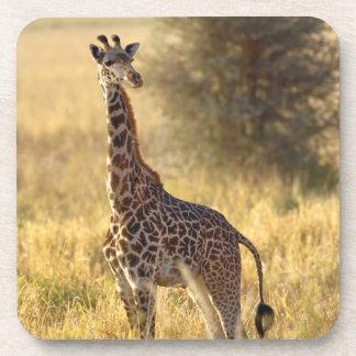 Juvenile Giraffe, Giraffa camelopardalis 2 Beverage Coaster