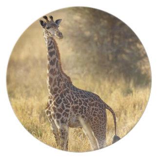 Juvenile Giraffe, Giraffa camelopardalis 2 Dinner Plates