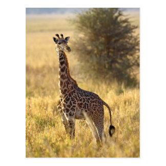 Juvenile Giraffe, Giraffa camelopardalis 2 Postcard
