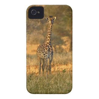 Juvenile Giraffe, Giraffa camelopardalis Blackberry Bold Covers