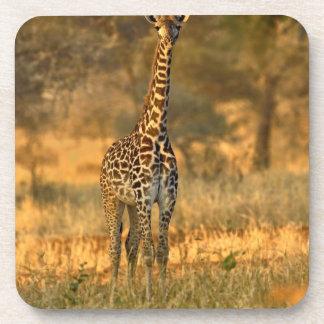 Juvenile Giraffe, Giraffa camelopardalis Beverage Coaster
