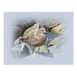 Juvenile Great Black-Backed Gull Postcard