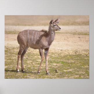 Juvenile greater kudu poster