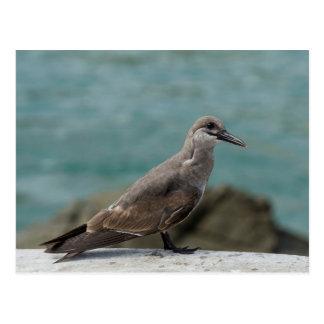 Juvenile Inca Tern (Larosterna inca) Postcard