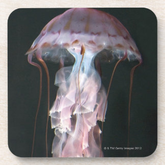 Juvenile jellyfish, Chrysaora (Pelagia) Coasters