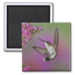Juvenile male Ruby Throated Hummingbird in 2 Inch Square Magnet