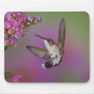 Juvenile male Ruby Throated Hummingbird in Mouse Pad