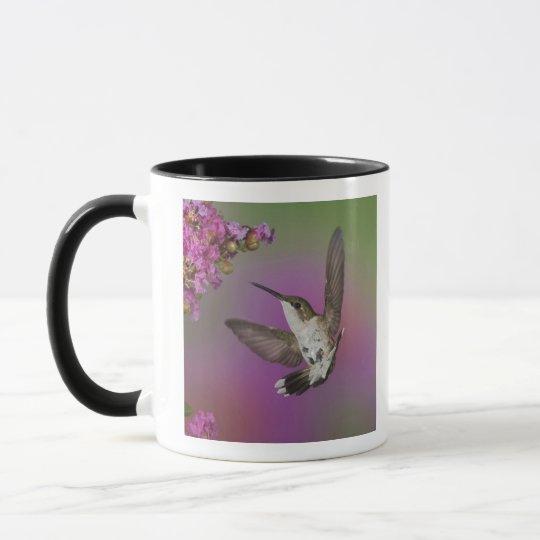 Juvenile male Ruby Throated Hummingbird in Mug