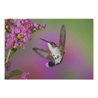 Juvenile male Ruby Throated Hummingbird in Photo Print