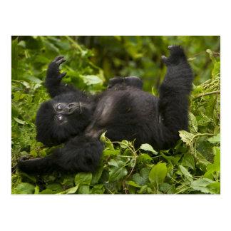 Juvenile Mountain Gorilla 2 Postcard
