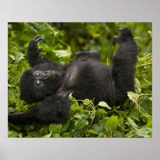 Juvenile Mountain Gorilla 2 Poster
