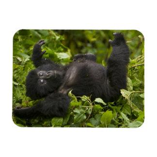 Juvenile Mountain Gorilla 2 Rectangular Photo Magnet