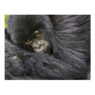 Juvenile Mountain Gorilla 3 Postcard