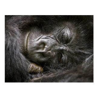 Juvenile Mountain Gorilla 4 Postcard