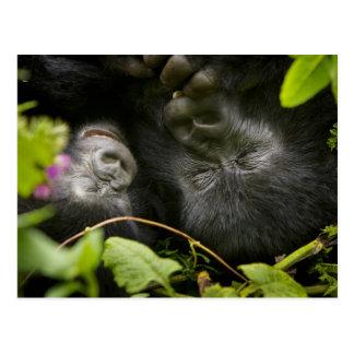 Juvenile Mountain Gorilla and his mother Postcard