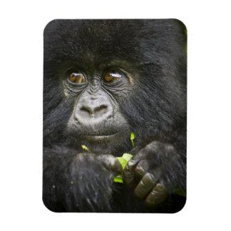 Juvenile Mountain Gorilla feeds on tender leaves 2 Rectangular Photo Magnet
