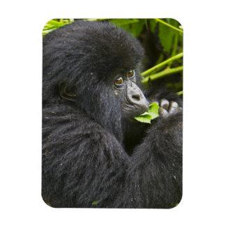 Juvenile Mountain Gorilla feeds on tender leaves Rectangular Photo Magnet