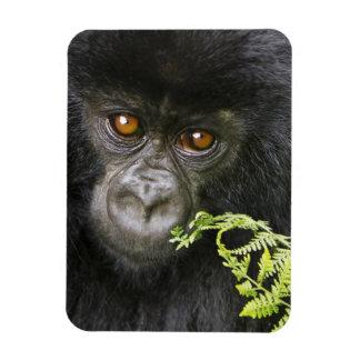 Juvenile Mountain Gorilla Rectangular Photo Magnet