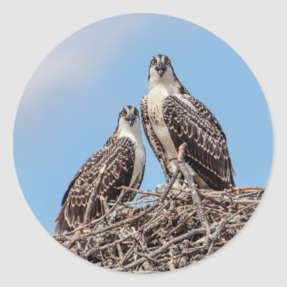 Juvenile Osprey in the nest Classic Round Sticker