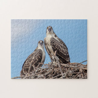 Juvenile Osprey in the nest Jigsaw Puzzle