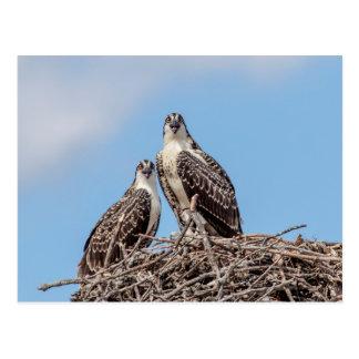 Juvenile Osprey in the nest Postcard