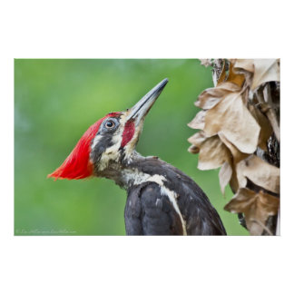 Juvenile Pileated Woodpecker Profile Poster