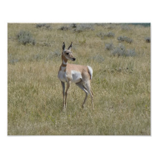 Juvenile pronghorn, solar eclips, Rocky Mountains Poster