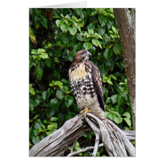 Juvenile red-tailed hawk card