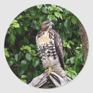 Juvenile red-tailed hawk classic round sticker