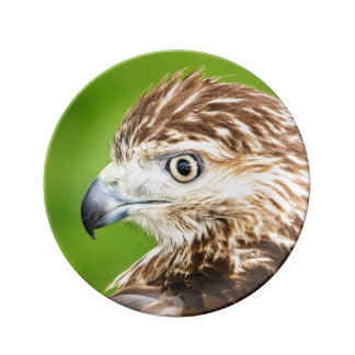 Juvenile Red Tailed Hawk Dinner Plate