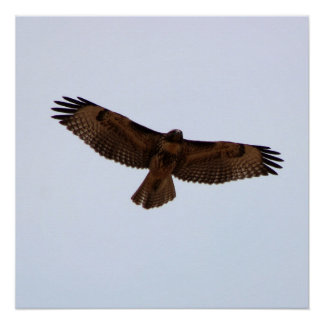 Juvenile Red-Tailed Hawk in Flight Poster