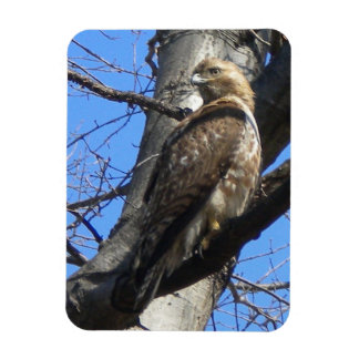 Juvenile Red Tailed Hawk Magnet