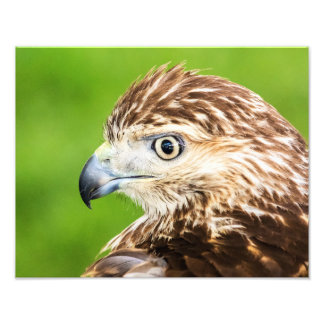 Juvenile Red Tailed Hawk Photo Print