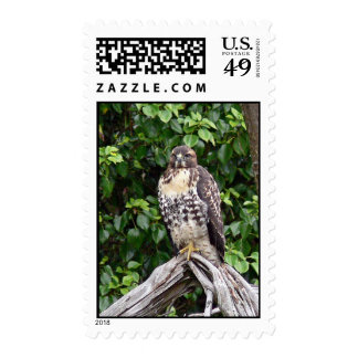 Juvenile red-tailed hawk postage stamps