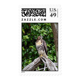Juvenile red-tailed hawk stamp