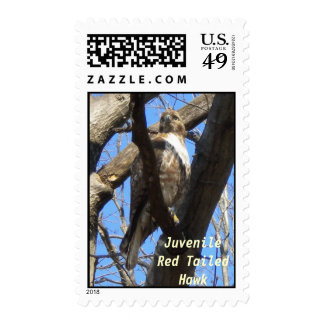 Juvenile Red Tailed Hawk Postage