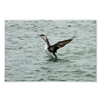 Juvenile red-throated loon posters