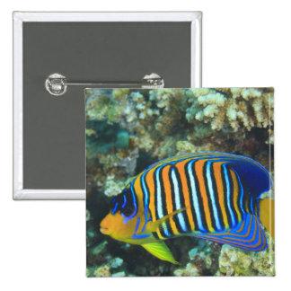 Juvenile Regal Angelfish Pygoplites Button