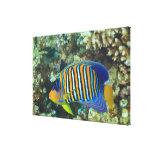 Juvenile Regal Angelfish Pygoplites Gallery Wrapped Canvas