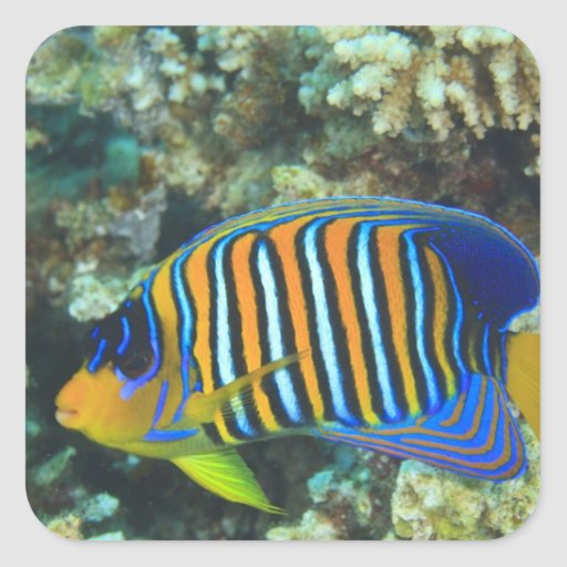 Juvenile regal angelfish pygoplites square sticker zazzle for Stickers juveniles