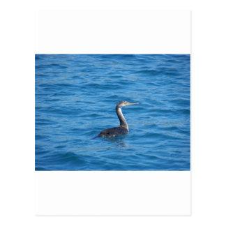Juvenile Shag fishing Postcard