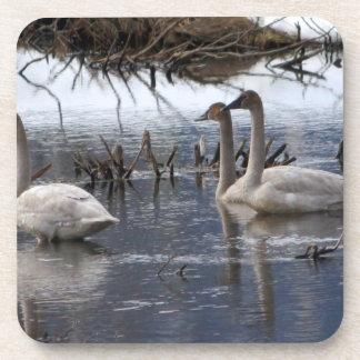 Juvenile Swans Drink Coasters
