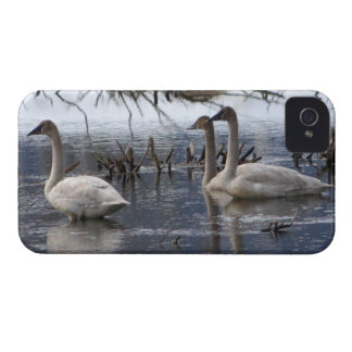 Juvenile Swans iPhone 4 Cover