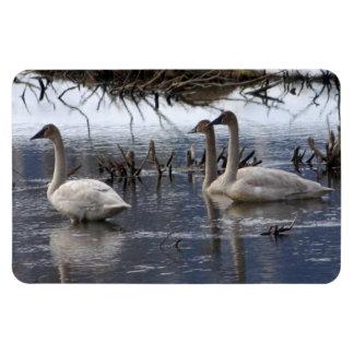Juvenile Swans Magnet