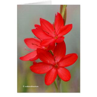 Kaffir Lily / River Lily / Hesperantha Coccinea Card